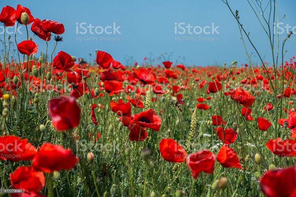 Poppy Lizenzfreies stock-foto