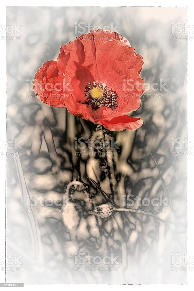Coquelicot stock photo