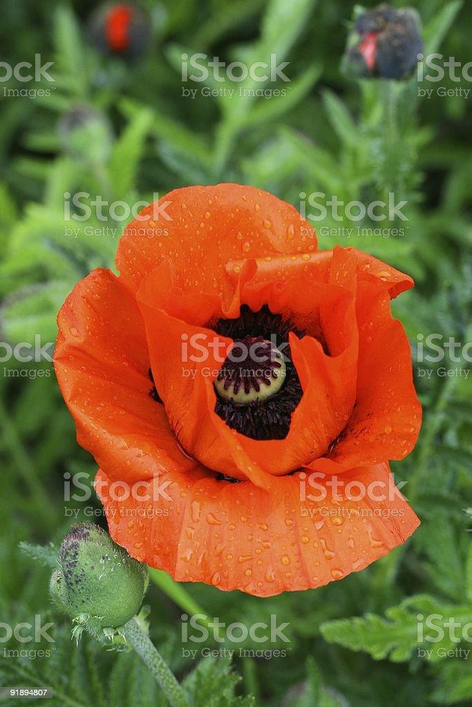 Poppy stock photo