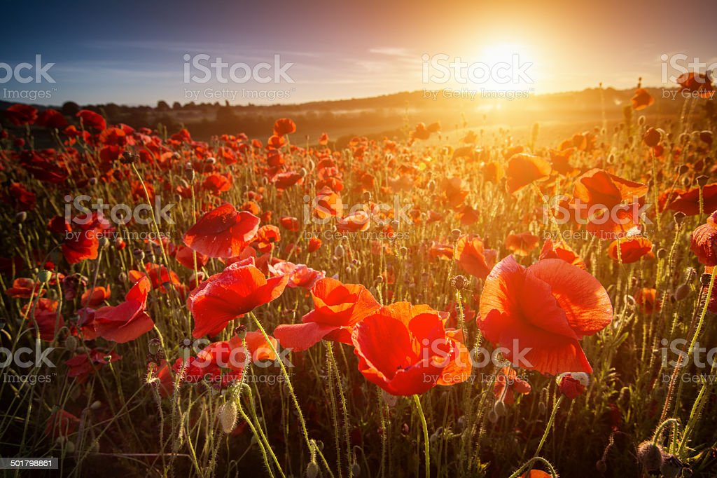 Poppy Point Of View stock photo