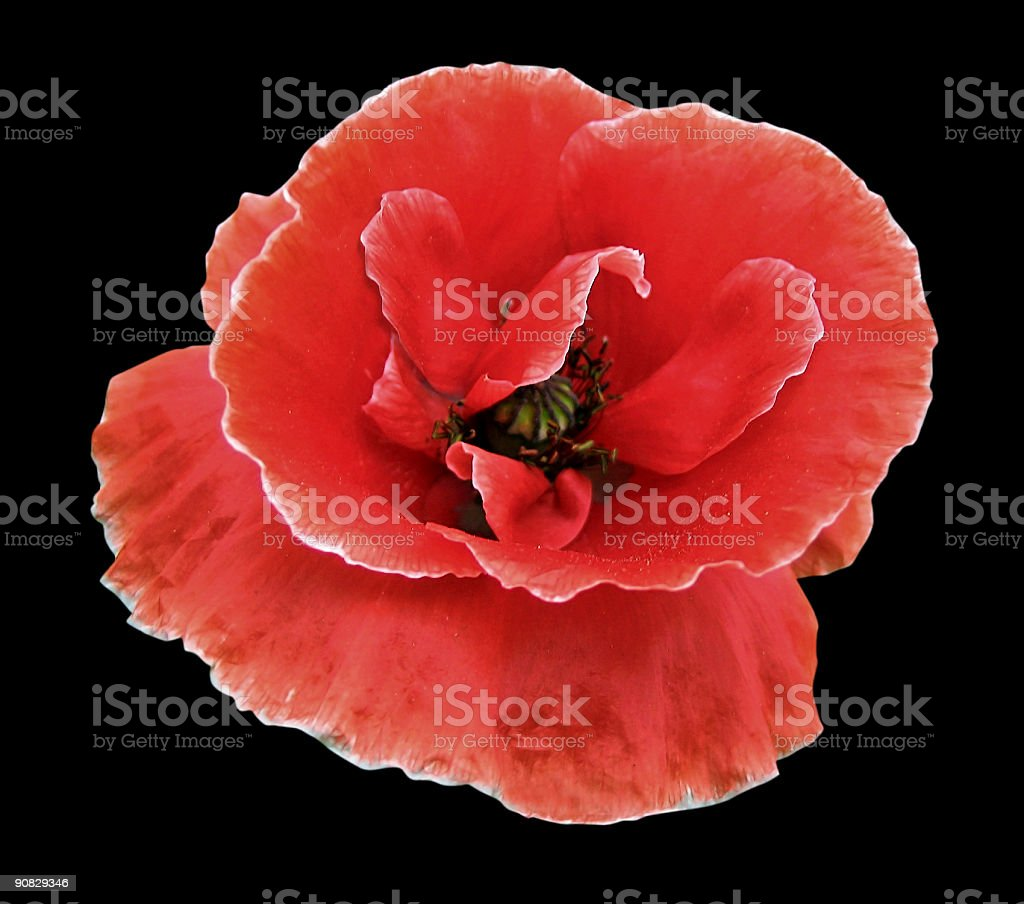 Poppy red, isolated on black background royalty-free stock photo
