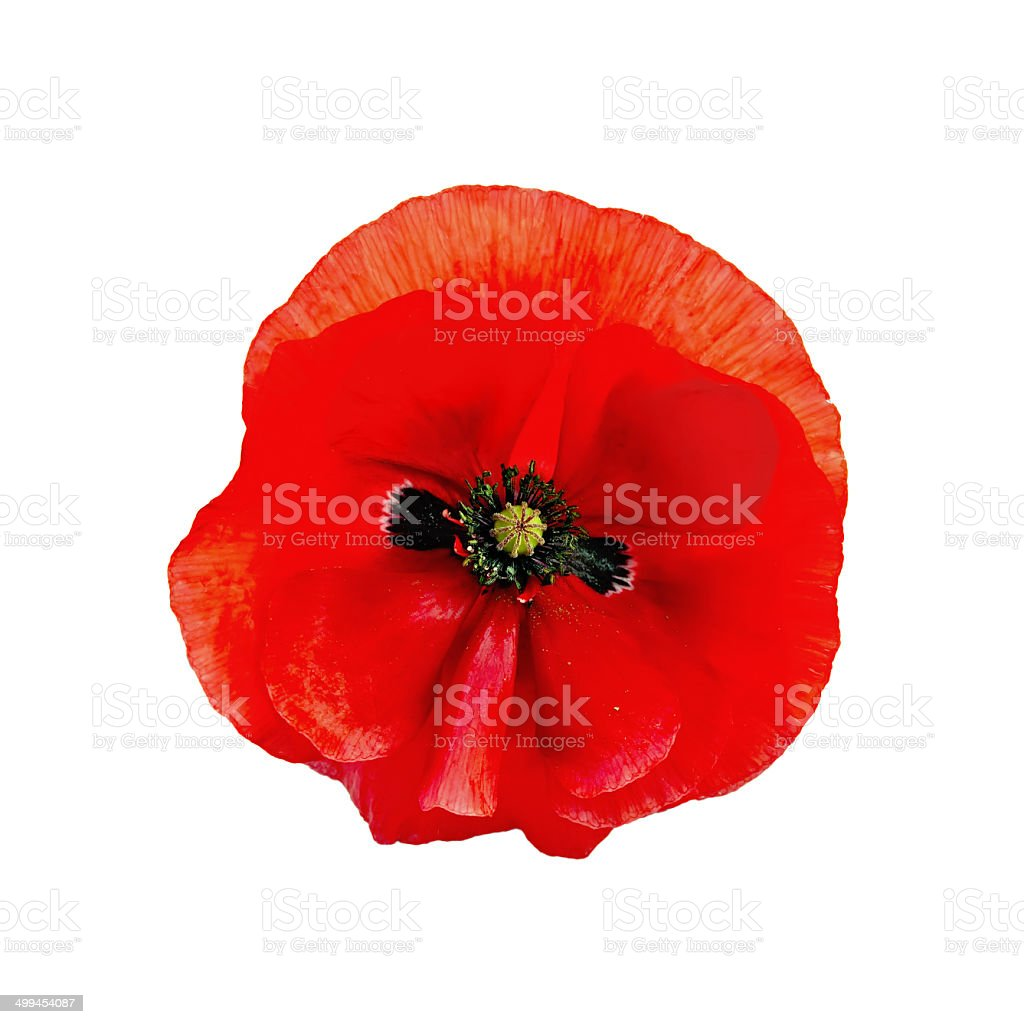 Poppy red isolated stock photo
