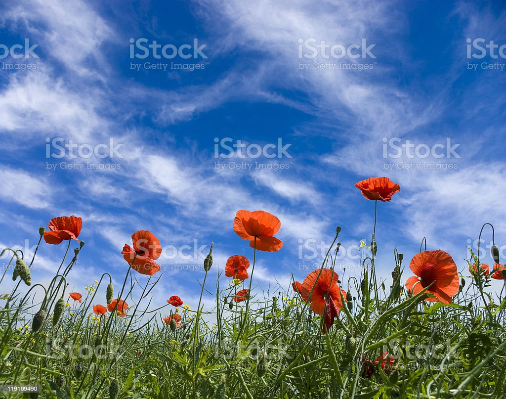 poppy red royalty-free stock photo
