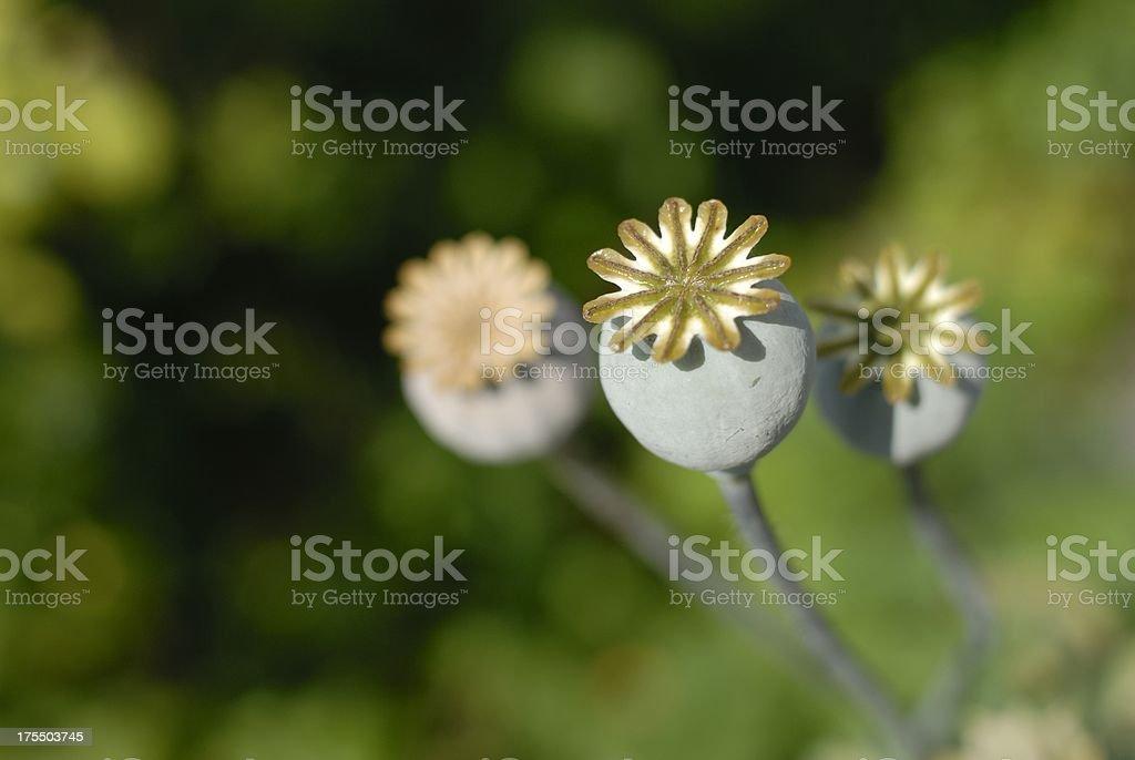 Poppy Seed Capsules stock photo