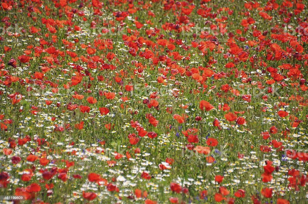 poppy seed flowering field stock photo