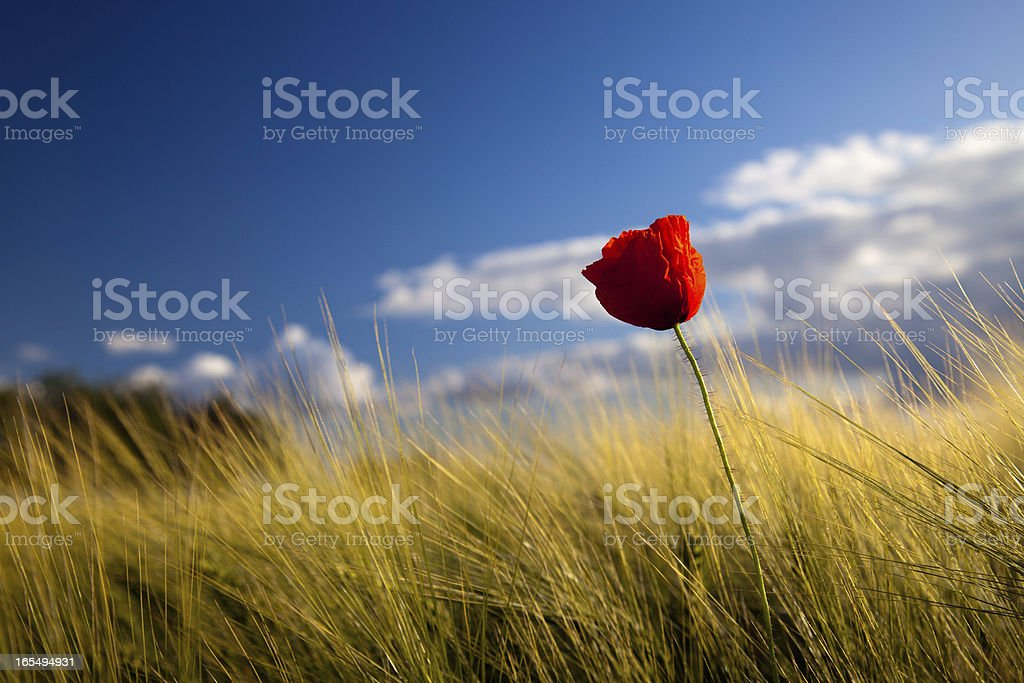 poppy seed flowering royalty-free stock photo