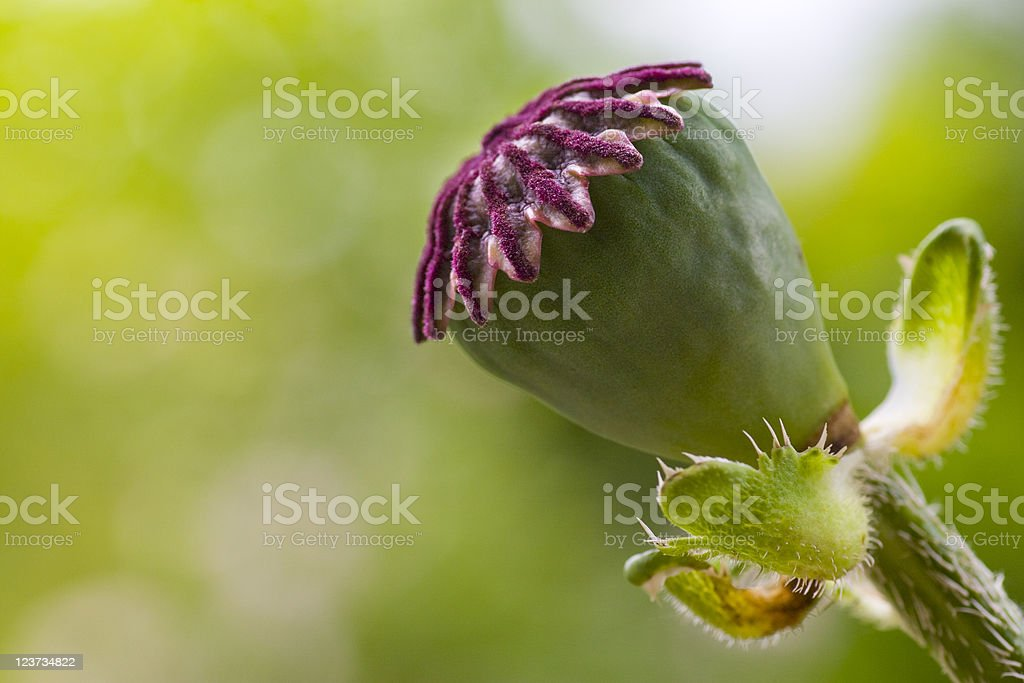 Poppy seed head royalty-free stock photo