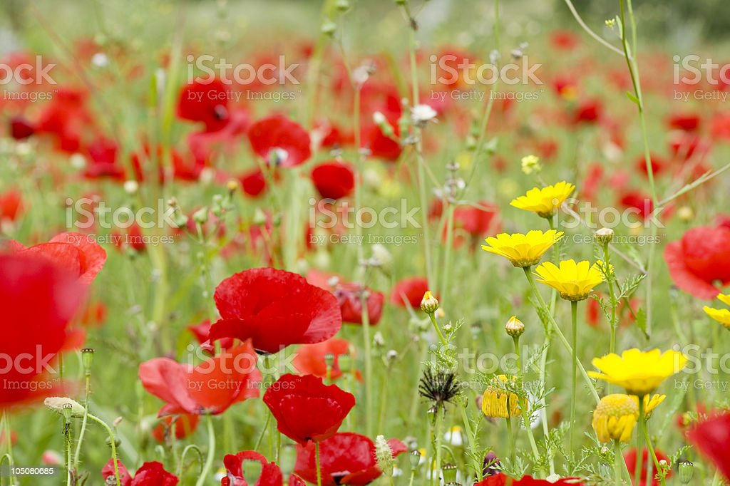 poppy seed royalty-free stock photo