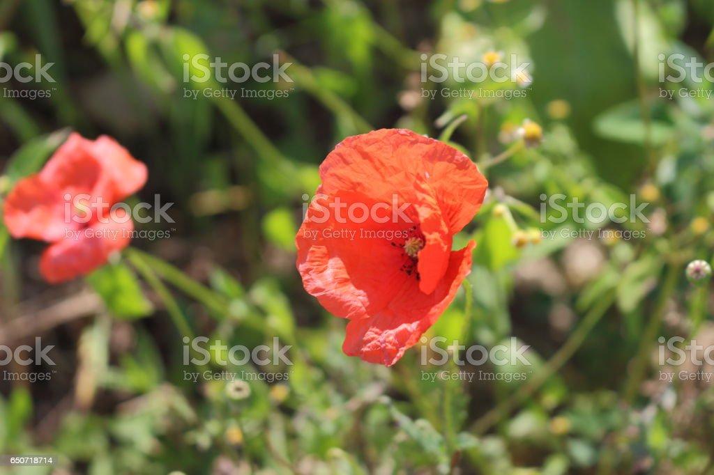 Poppy seed. stock photo