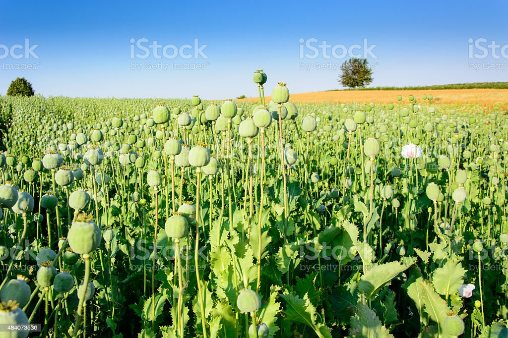 Plantas de semilla de amapola foto de stock libre de derechos