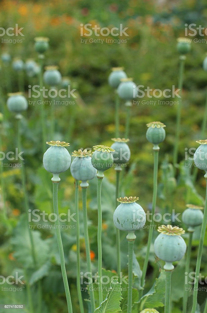 Poppy seed pods on the colorful  green  blurred background stock photo