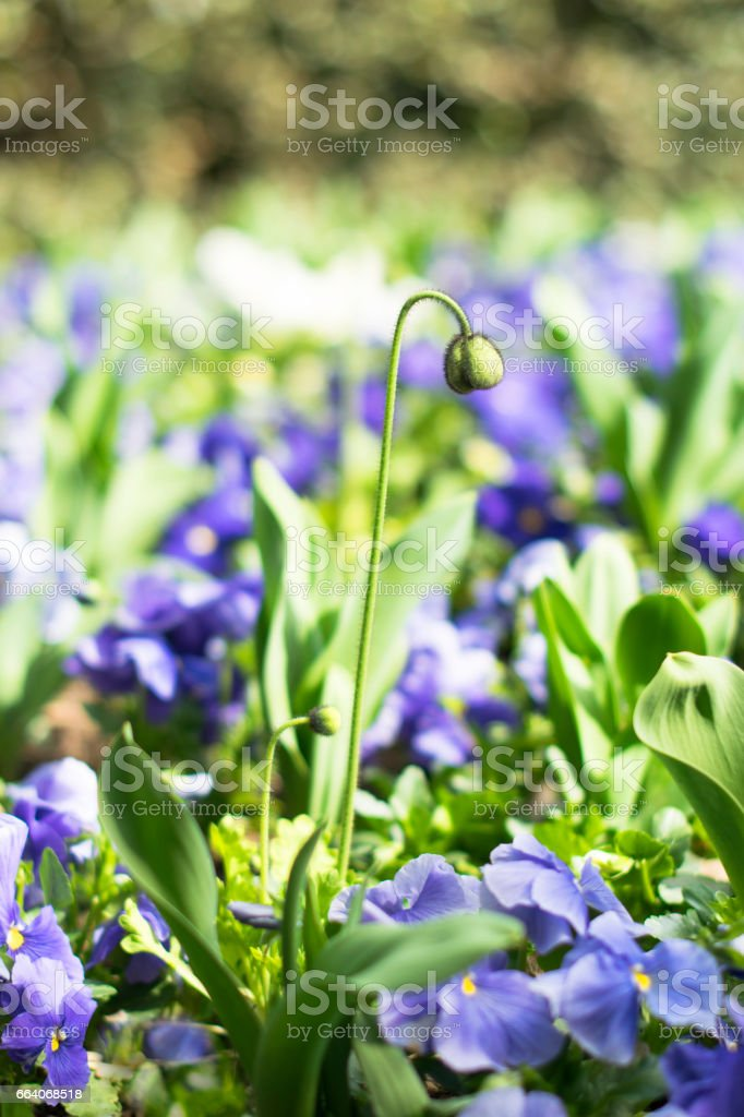 A poppy seedlings on the background of blue pansies stock photo