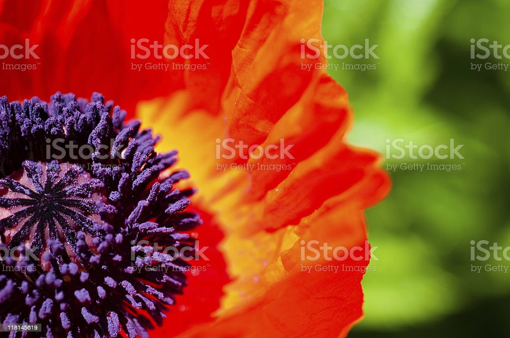 Poppy Stigma Detail royalty-free stock photo