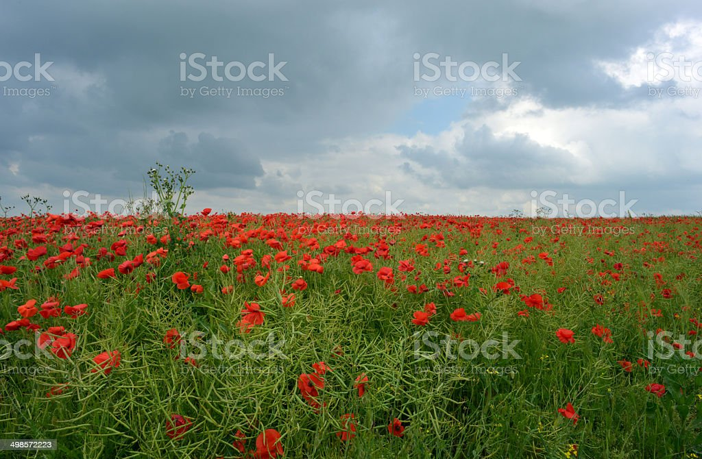 Poppy Storm royalty-free stock photo
