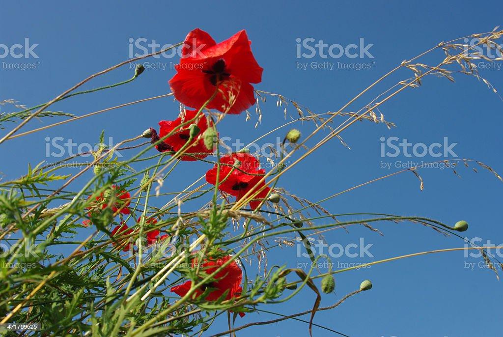Poppy up tot the summer sky royalty-free stock photo