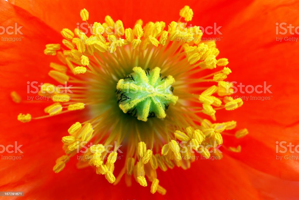 poppy(Papaver)anther and pistils royalty-free stock photo