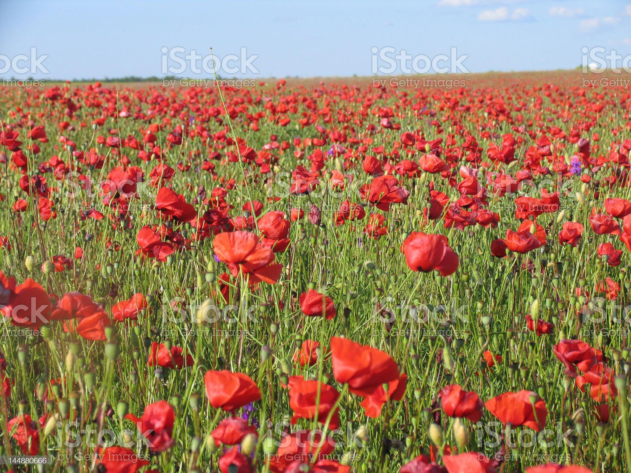 poppy-field royalty-free stock photo