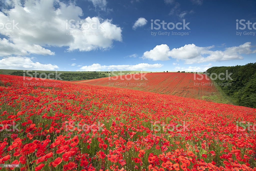 Poppyfield royalty-free stock photo