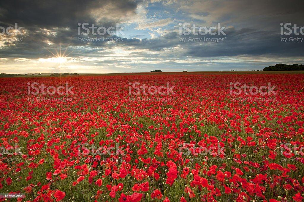 Poppyfield royalty-free stock photo