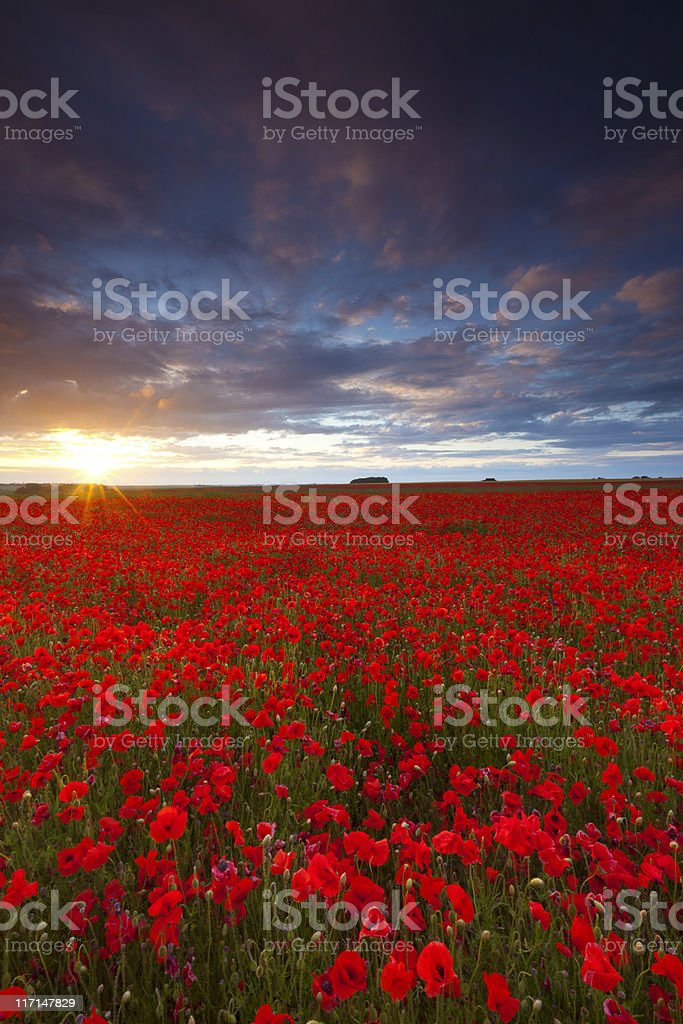 Poppyfield Sunset stock photo