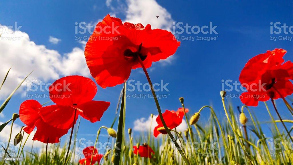 Poppy's field and blue sky stock photo