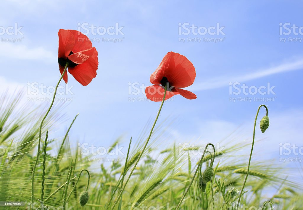 Poppy's field stock photo