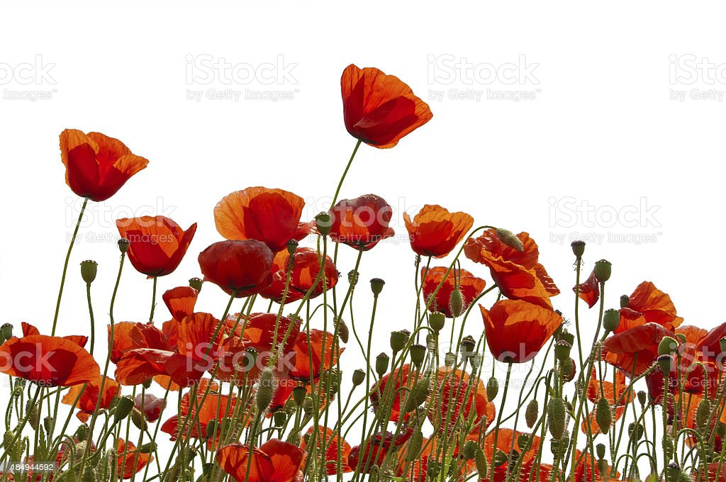 Poppys isolated on white stock photo