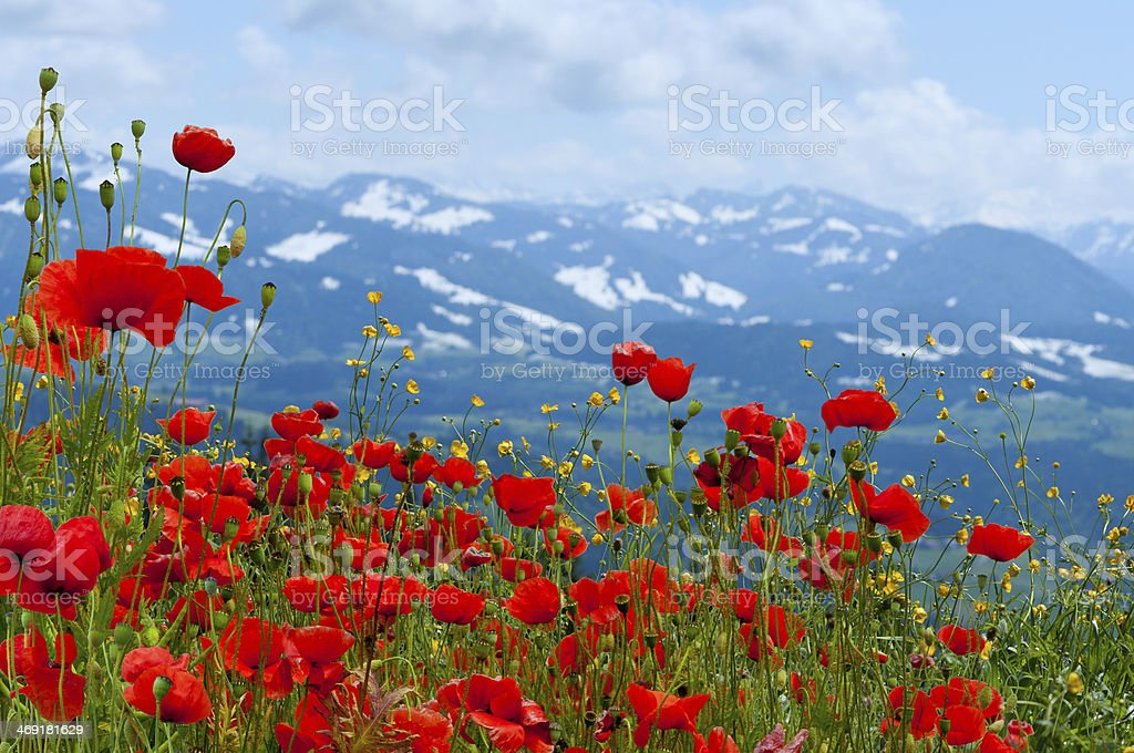 poppys on meadow in front of mountains stock photo