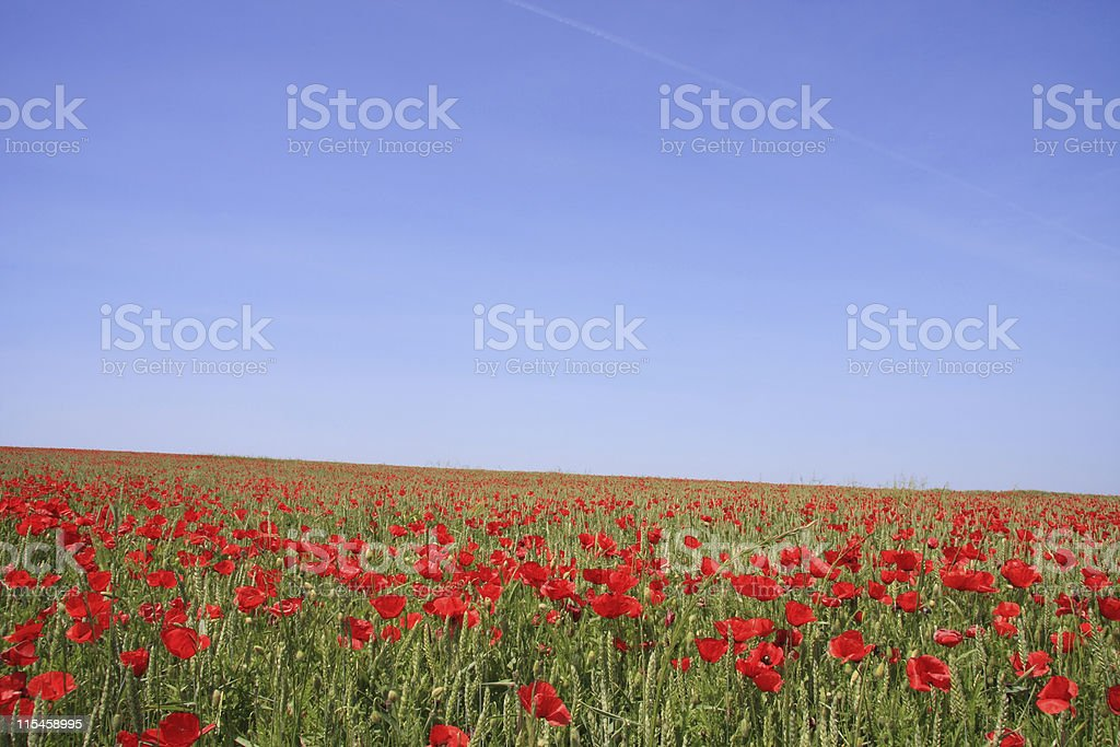 Poppys royalty-free stock photo