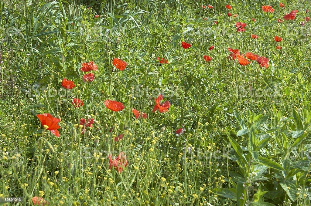 Poppys royalty-free stock photo
