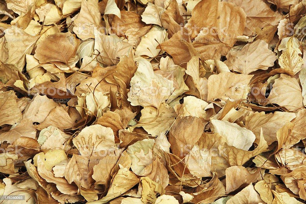 Populus fremontii Fremont Cottonwood Leaf royalty-free stock photo