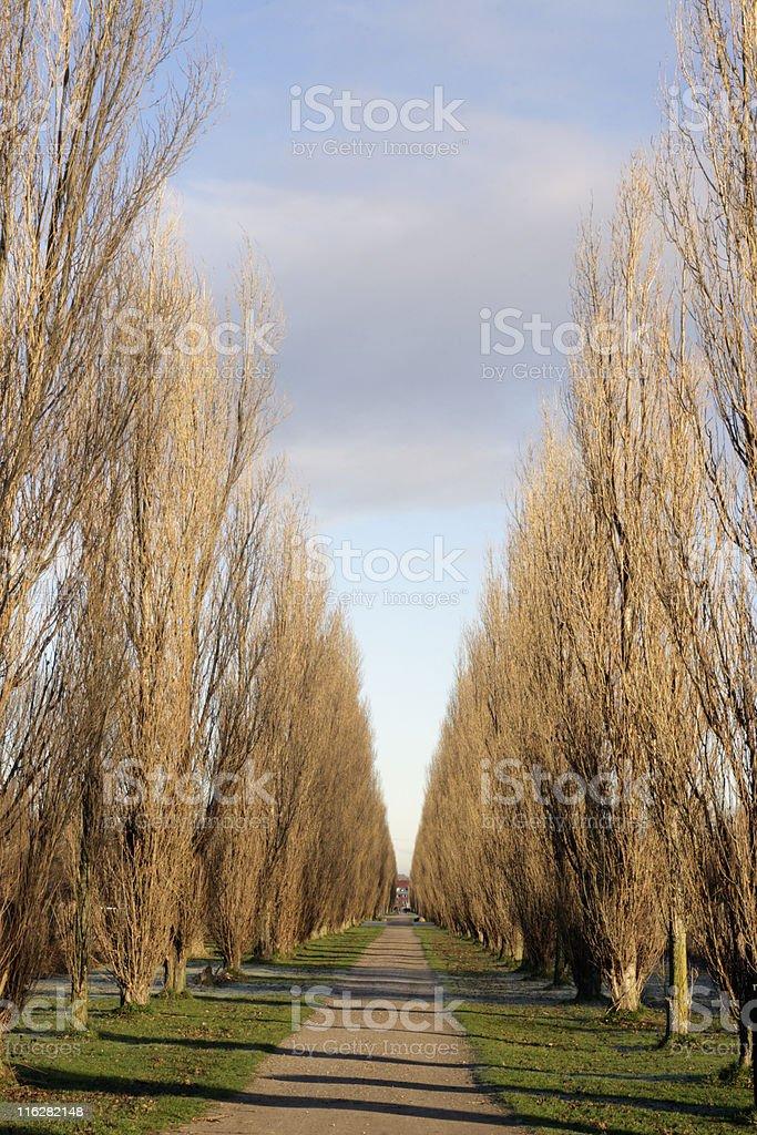 Populus nigra 'Italica' vertical. stock photo