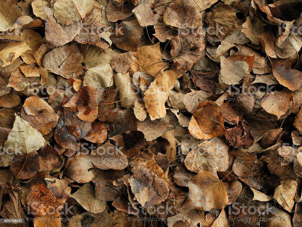 populus nigra stock photo