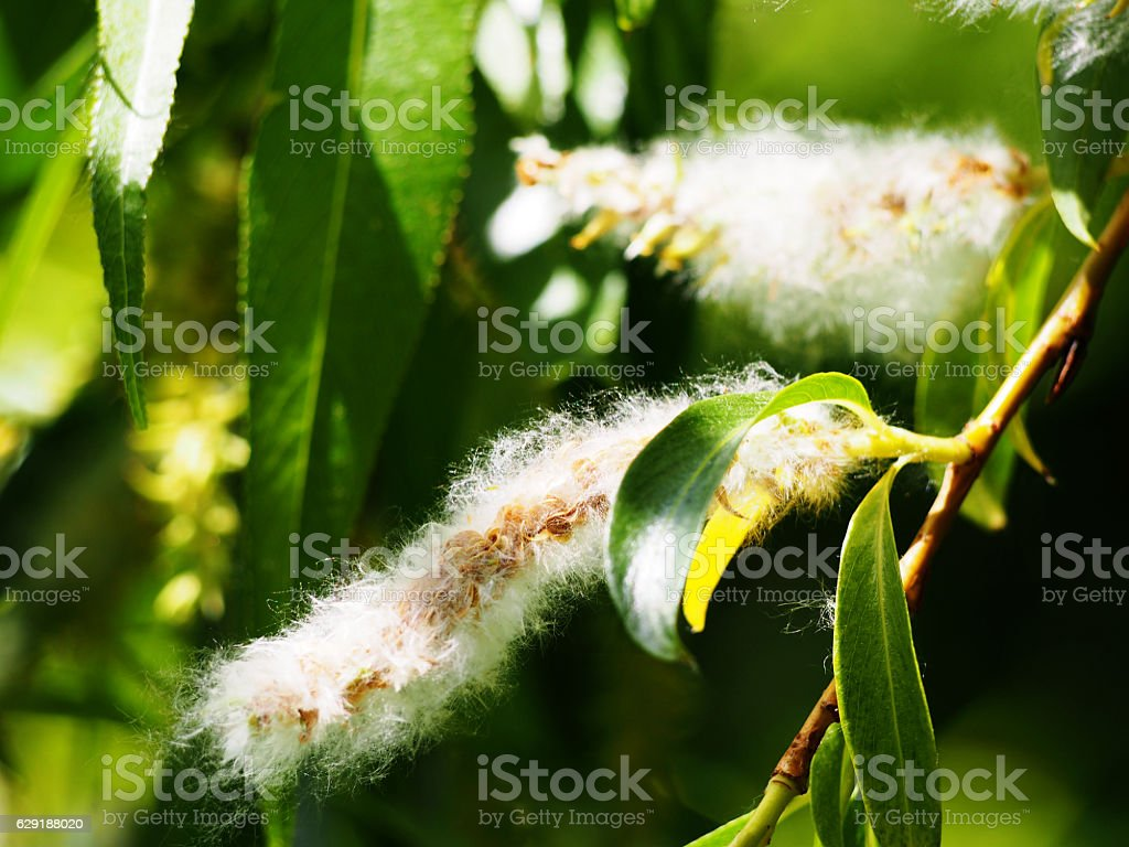 Populus (poplar, cottonwood, aspen) stock photo