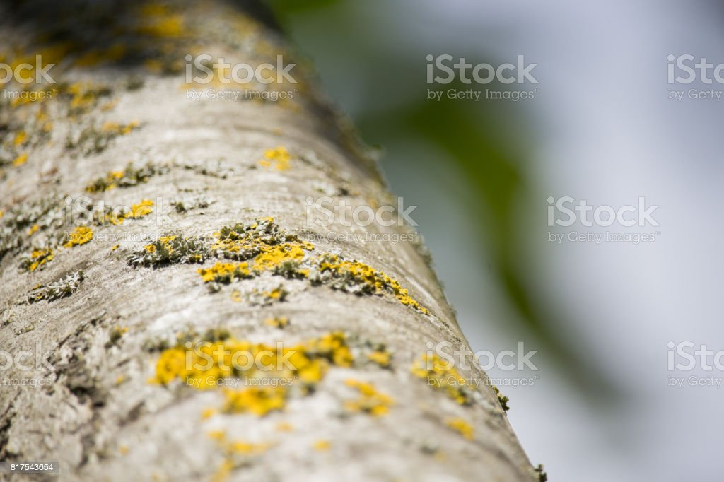Populus Trunk stock photo