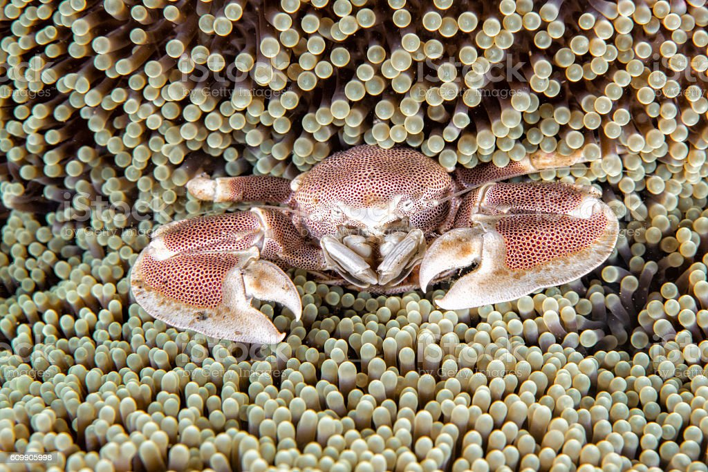 porcelain crab and clown fish inside anemone stock photo