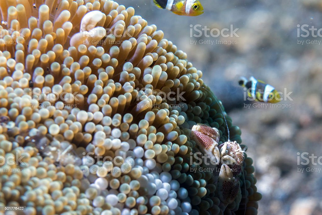 porcelain crab and clown fish stock photo