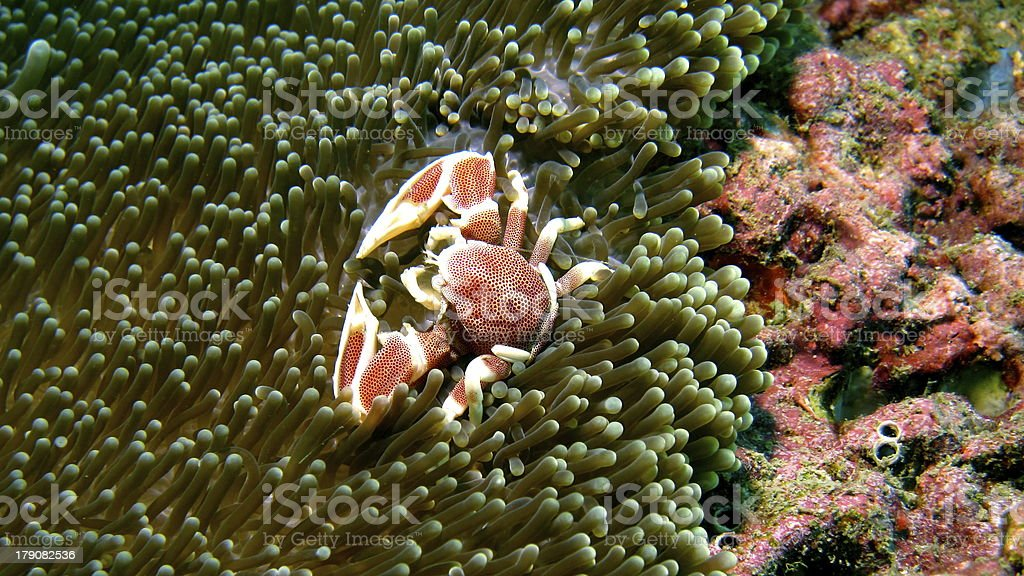 Porcelain Crab on Anemone stock photo
