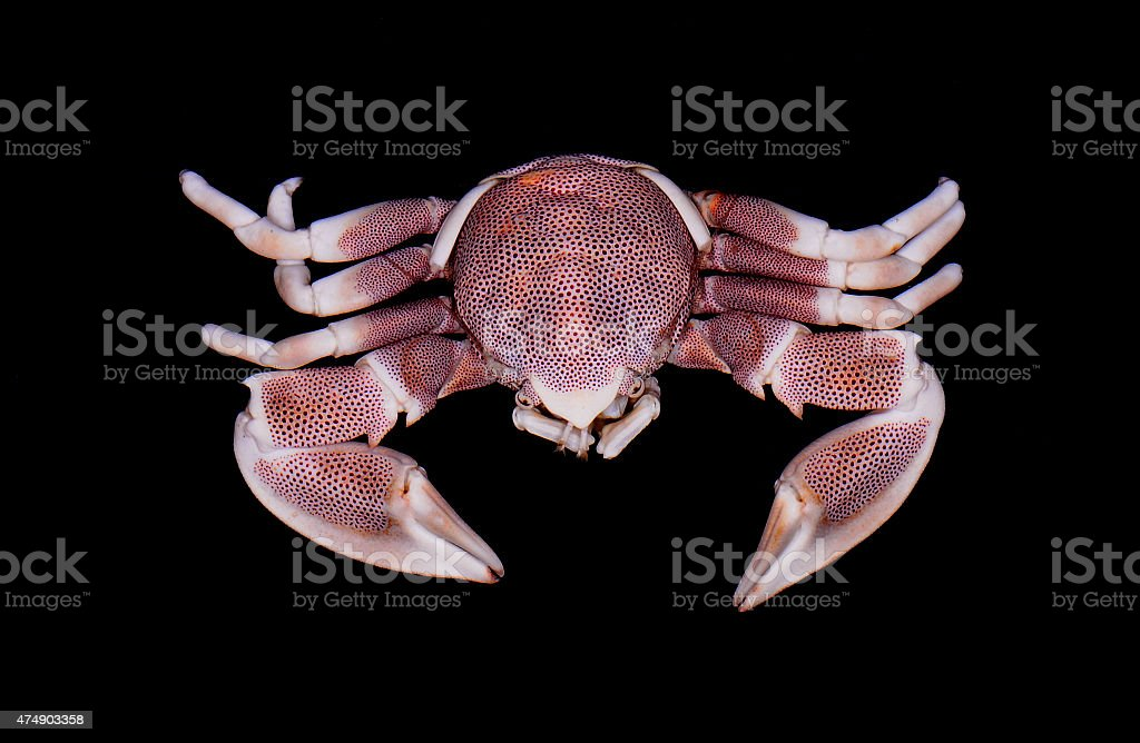 Porcelain crab stock photo