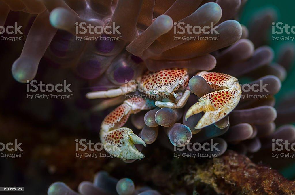 Porcelain Crab stock photo