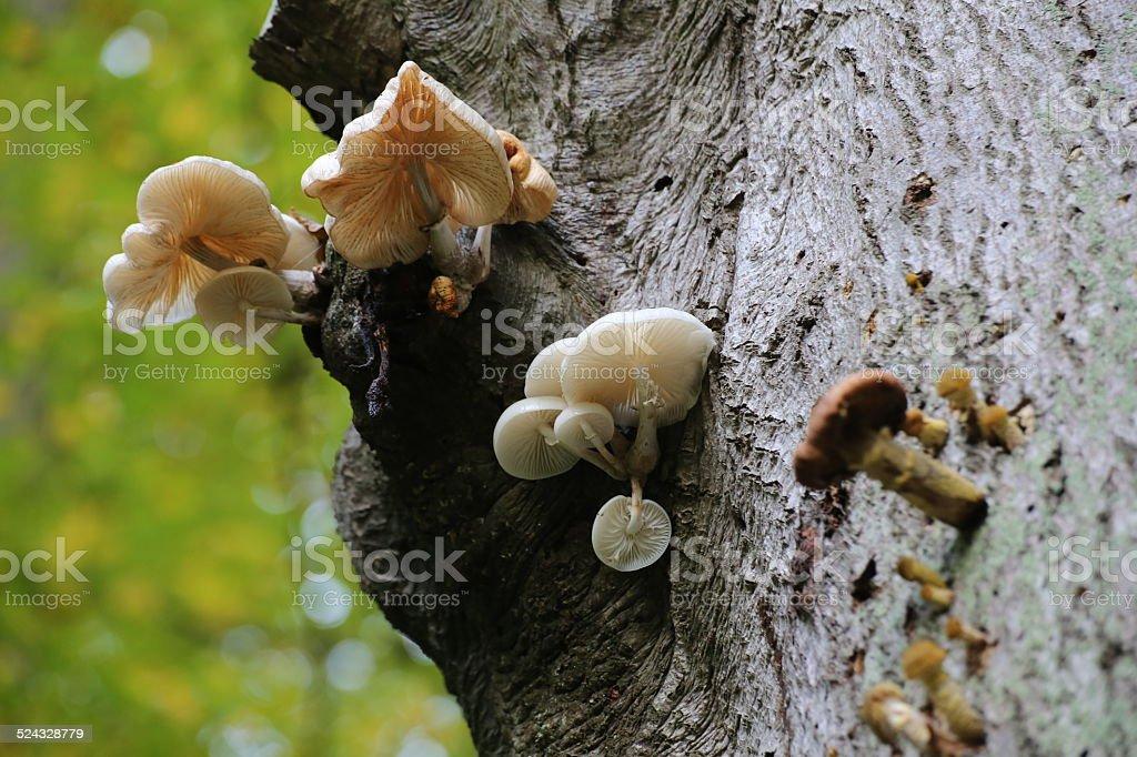 Porcelain Fungi stock photo