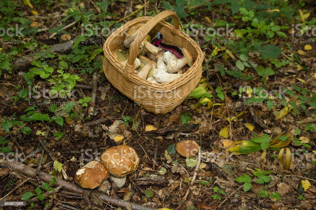 Porcini Mushroom (boletus edulis) in Basket - Edible mushrooms in forest stock photo