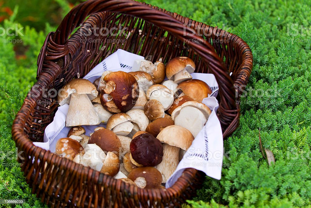 Porcini Mushrooms Boletus edulis in a basket royalty-free stock photo