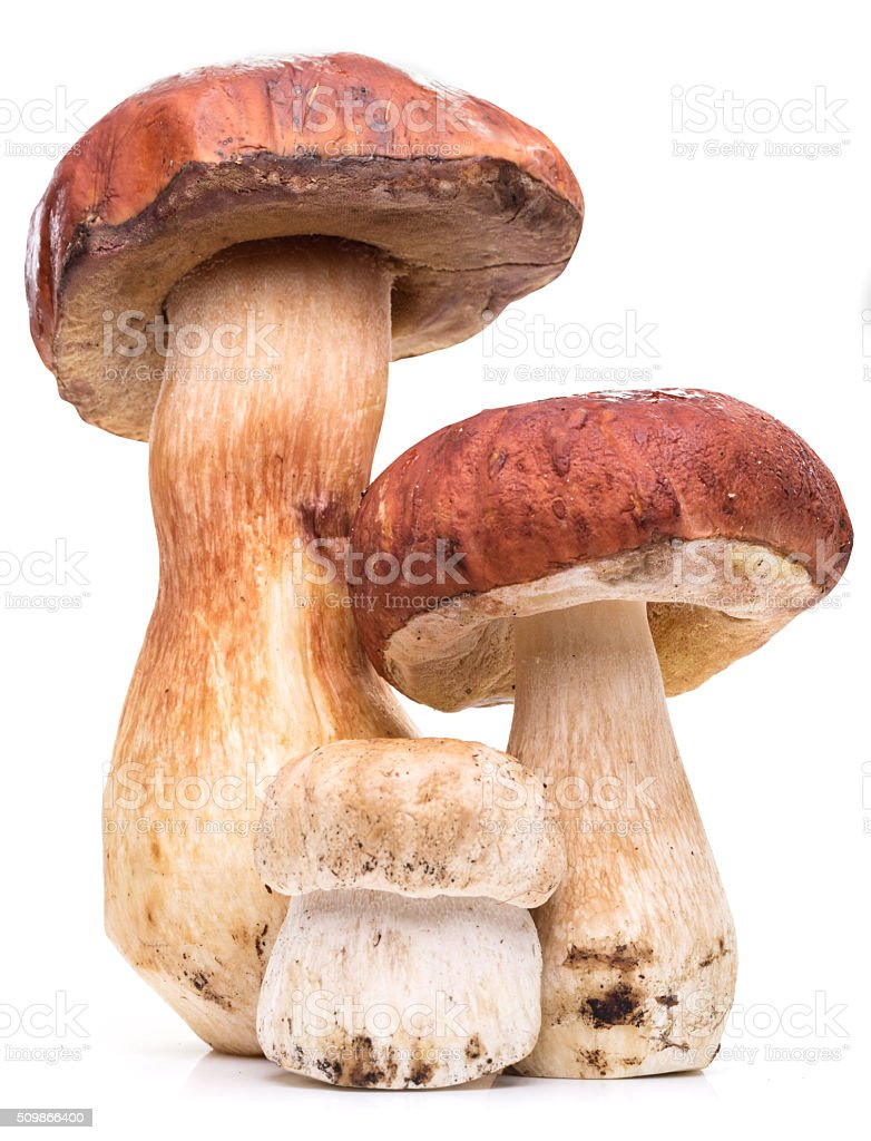 Porcini mushrooms on a white background. stock photo