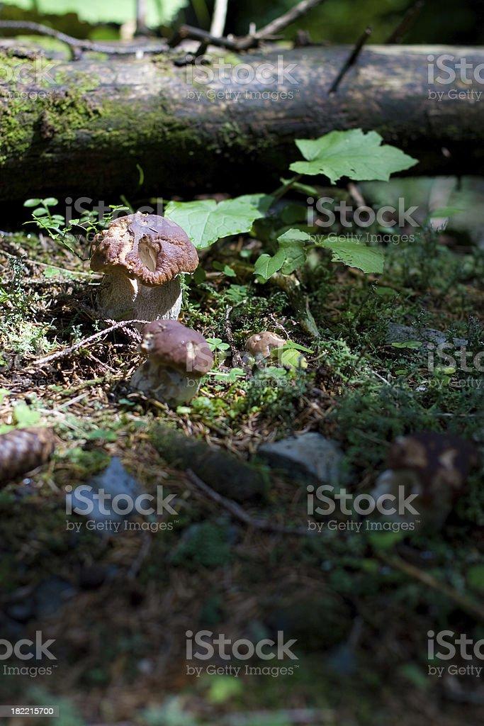 Porcini mushrooms royalty-free stock photo