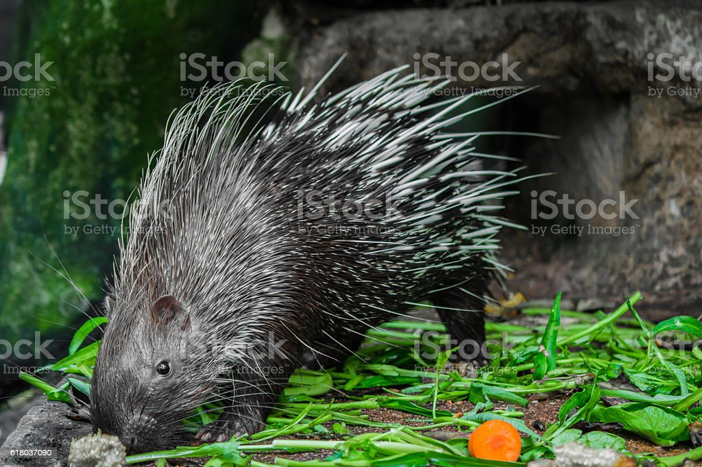 Porcupine and vegetables. stock photo
