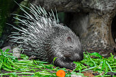 Porcupine and vegetables.