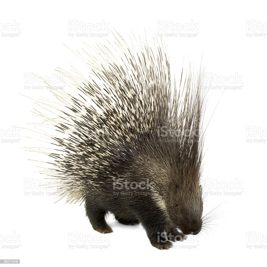 Porcupine at attention on a white background royalty-free stock photo