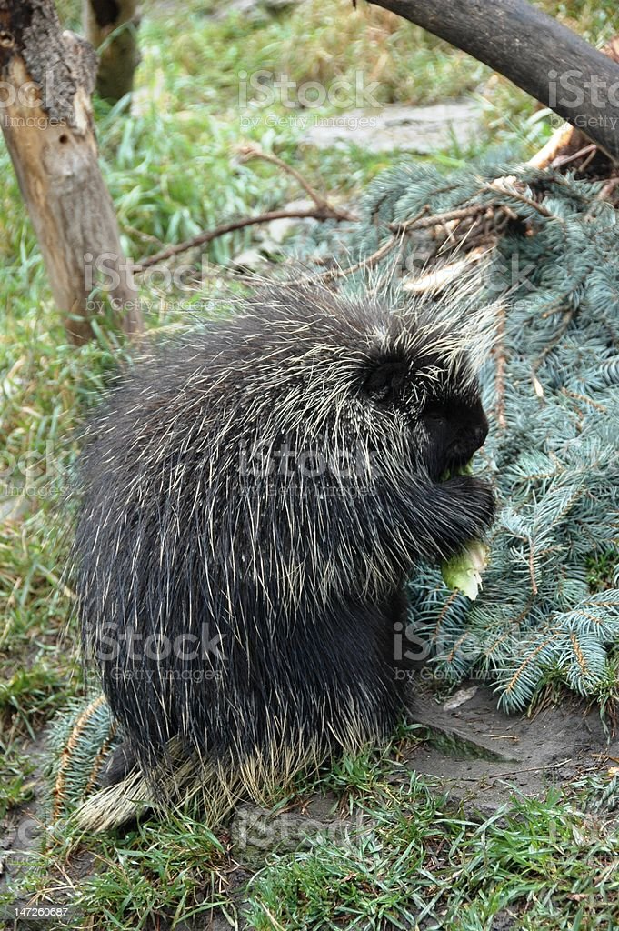 Porcupine eating in the forest stock photo