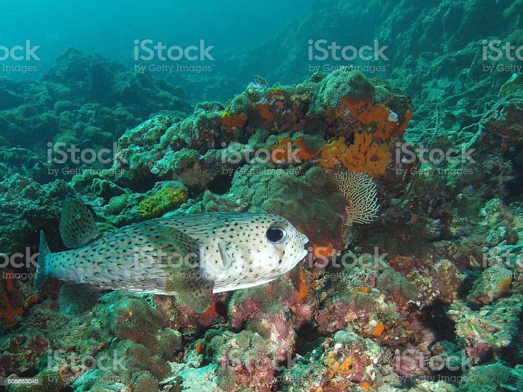 Porcupine fish at Hin Bida (Thailand) stock photo